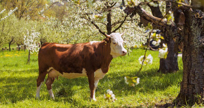Eine Kuh steht auf einer Wiese zwischen blühenden Obstbäumen